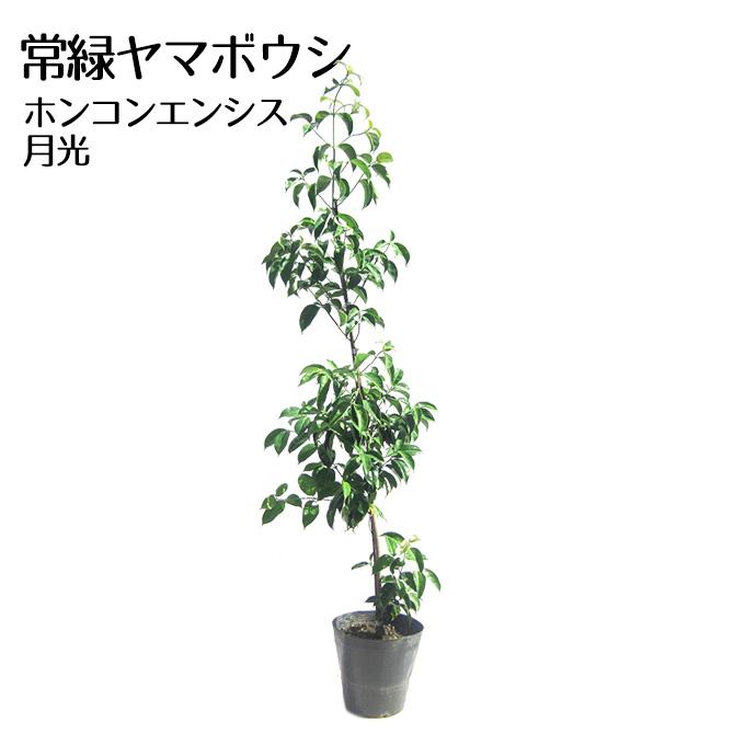 ガーデニング 植木 花木 品質保証 洋風 常緑ヤマボウシホンコンエンシス月光 樹高1.2~1.5m前後 ポット苗 定番から日本未入荷
