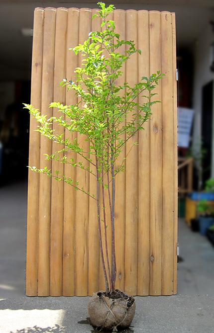 エゴノキ 株立 樹高1.5m前後 露地苗 シンボルツリー 落葉樹
