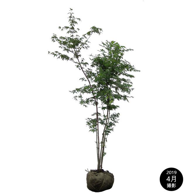 ガーデニング 植木 和風 紅葉 もみじ 苗木 落葉樹 モミジ トラスト イロハモミジ 伊呂波紅葉 庭木 露地苗 シンボルツリー 樹高1.5m前後 迅速な対応で商品をお届け致します 株立