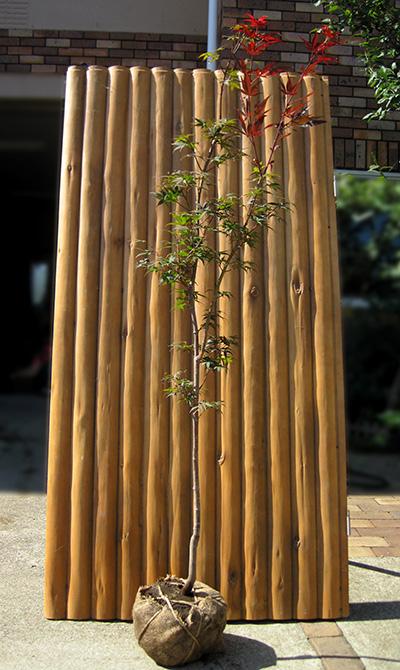 モミジ(紅葉)/ノムラモミジ(野村紅葉) 単木 樹高1.5m前後 露地苗 シンボルツリー 落葉樹