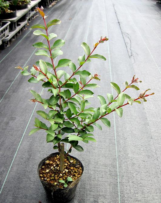 ガーデニング 植木 正規品 大人気 花木 洋風 サルスベリ 百日紅 カントリーレッド 落葉樹 ポット苗 シンボルツリー 樹高0.5m前後