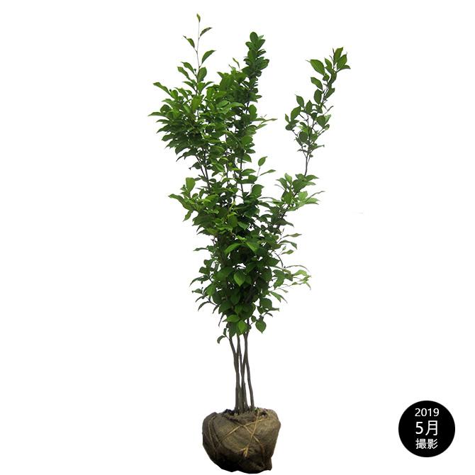 ナツツバキ(夏椿) 株立 樹高1.2m前後 露地苗 シンボルツリー 落葉樹