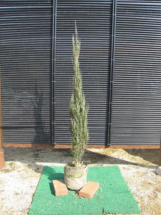 ガーデニング 送料込 植木 コニファー スカイロケット 樹高1.2m前後 日本製 常緑樹 ポット苗 低木