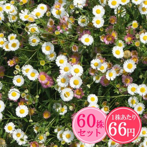 花期が長く花のカーペットにおすすめ グラウンドカバー 多年草 暑さ 寒さに強い 1株あたり66円 緑のじゅうたんを作りましょう 通信販売 たっぷり60株セット お洒落 ヨウシュアズマギク エリゲロン