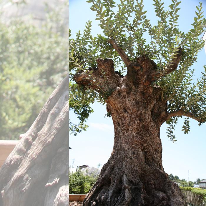 御神木 樹齢300年のオリーブの木 鉢植えになっています!全国へ自社便でお届け可能!実物の見学も可能です!庭木 常緑樹 オリーブ 苗木 植木 販売】