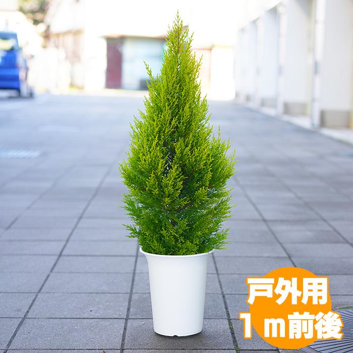 丈夫な葉が魅力の戸外用のゴールドクレスト 上品 美しいシルエットの仕立てと暑さ寒さに比較的強い作りが好評 1mサイズは庭植えにするにもちょうど良い大きさです ゴールドクレスト 戸外用 7号 クリスマスツリー 約1m 農家直送 与え ラッピング メッセージカード不可 送料無料