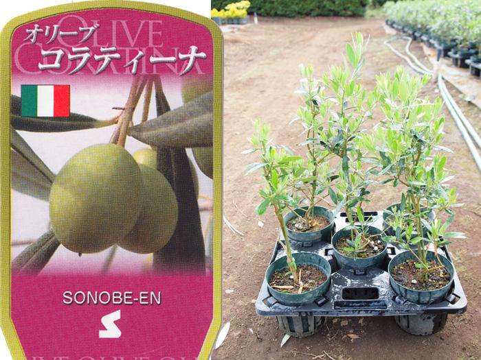 送料無料 オリーブ コラティーナ 6寸 5鉢セット オリーブの木 苗木 鉢植え【ラッピング・メッセージカード不可】