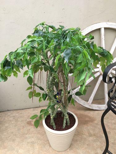 人工観葉植物 ベンジャミン H80cm