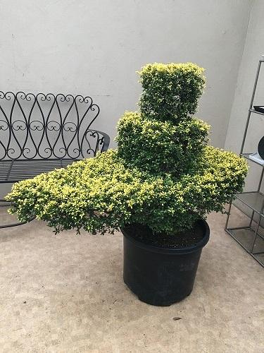 【楽天最安値に挑戦】 H115cm程:大型観葉植物と造花の専門店Gstyle キンメツゲトピアリー 現品 ツゲ-花・観葉植物