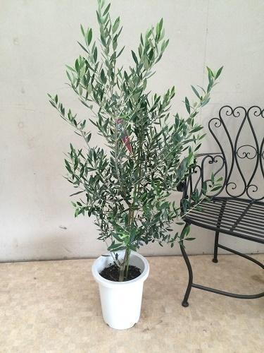 オリーブの木 コロネイキ8号鉢 H100-120cm 送料無料 大型 インテリア 観葉植物 苗