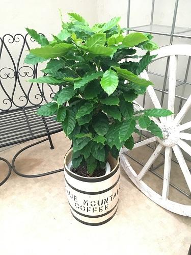 コーヒーの木 H80-100cm 樽ありなし選べる