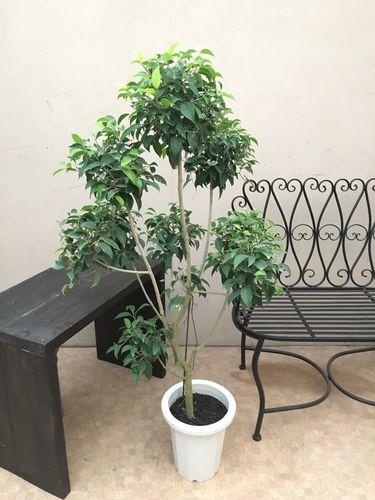 ぽんぽんトピアリー♬ ベンジャミン8号鉢 H120-140cm 大型 送料無料 観葉植物 インテリア