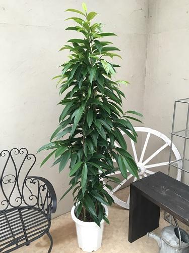 ショウナンゴム 10号鉢 観葉植物 大型 送料無料 新築祝い 開業祝い 開店祝い ギフト