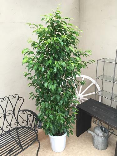 ボリューム満点 ベンジャミン 10号鉢 ベンジャミナ ボサ 送料無料 観葉植物 大型