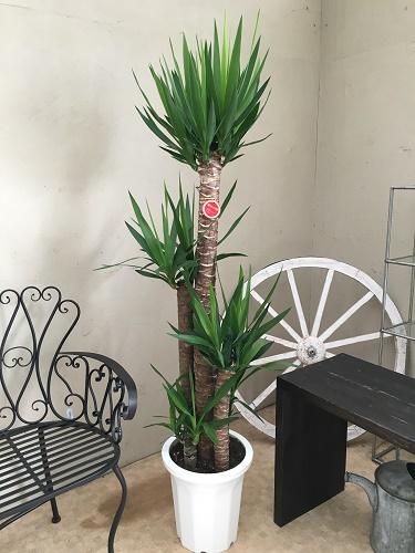 ユッカ エレファンティペス青年の樹 10号鉢 送料無料 観葉植物 大型 記念品 新築祝い 開店祝い 引越祝い インテリア