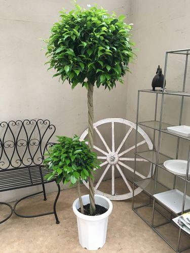 特上 大玉 ベンジャミン 10号鉢 H160-180cm トピアリー仕立て 大型 観葉植物 インテリア