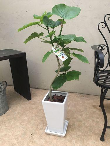 フィカスウンベラータ H95cm程 現品A-4 陶器鉢 皿付 観葉植物 送料無料