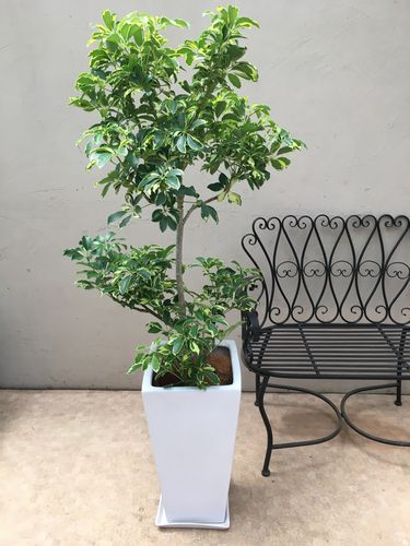 シェフレラウォルシー陶器鉢受け皿付 H140-160cm