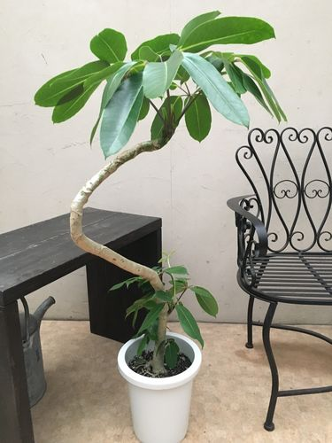 スリムな曲がり仕立て ブラッサイヤ8号鉢 H110cm程 現品A-3 送料無料 観葉植物 大型 ツピタンサス