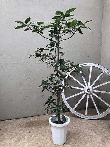 フランスゴムの木8号鉢 H130cm 【現品R1】