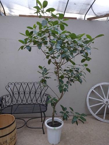 フランスゴムの木10号鉢 H210cm 【現品】