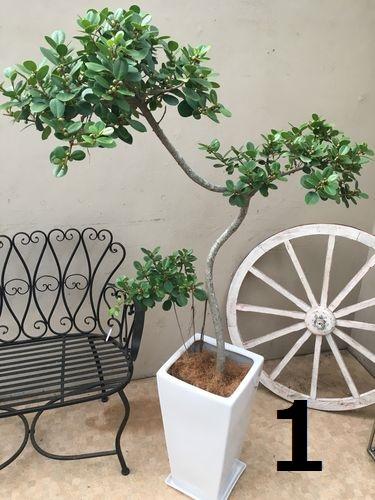 選べる パンダガジュマル 実付 陶器鉢 皿付 H120-170cm