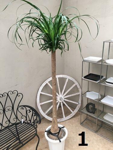選べる スリム! ポニーテール10号鉢 H170-190cm 観葉植物 送料無料 インテリア 大型