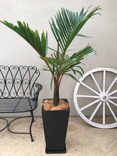 トックリヤシ 白陶器鉢 H140-160cm