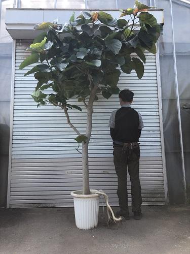 ウンベラータ10号鉢 H270cm 日本最大級
