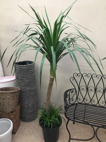 現品 ドラセナカンボジアーナ10号鉢 カンボジアナ 観葉植物 送料無料 育て方説明書付 記念品 新築祝い 開店祝い 引越祝い インテリア