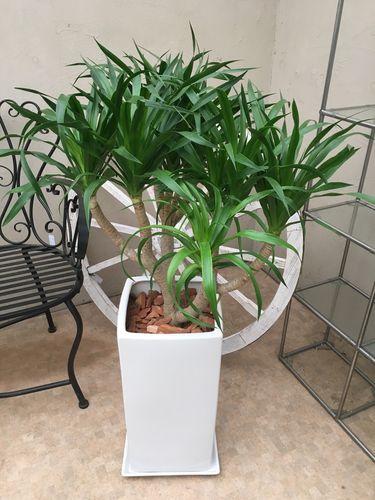 ドラセナカンボジアーナ 105cm 現品A カンボジアナ 観葉植物 送料無料 育て方説明書付 記念品 新築祝い 開店祝い 引越祝い インテリア 大型