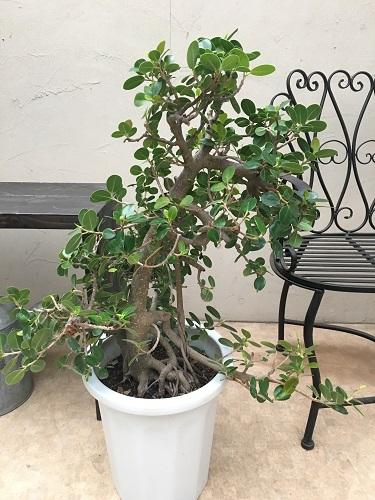 根張りが素敵 パンダガジュマル10号鉢 H90cm 現品D-2 多幸の木 送料無料 育て方説明書付 観葉植物 インテリア