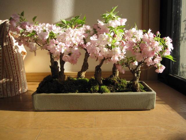 2020年4月頃開花【桜盆栽】お祝いに桜の方舟桜盆栽 豪華にラッキーの7  7本の桜盆栽 幸せを呼ぶ桜盆栽 鉢植毎年春に開花 自宅でお花見
