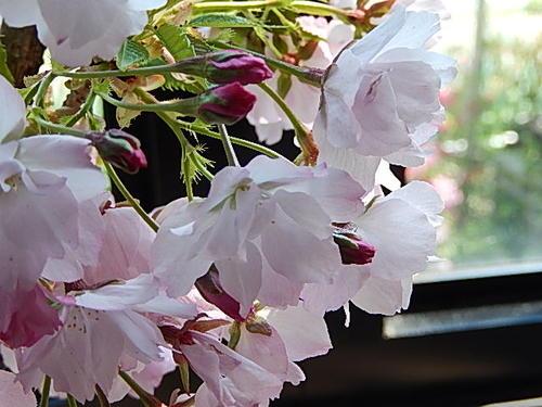 雙櫻花在 2015年春天開花將櫻花盆景 Shin 樂碗與櫻桃盆景雙櫻桃盆景