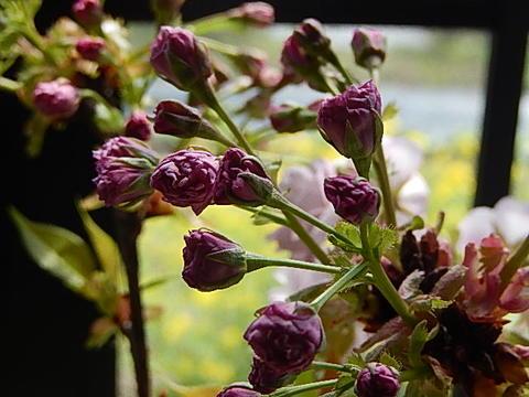 2020年4月末頃開花【桜盆栽】4月にはこんな感じで 咲きます。 盆栽ツイン桜寄せ植え 信楽鉢入り  お祝い桜盆栽 春に開花 自宅でお花見