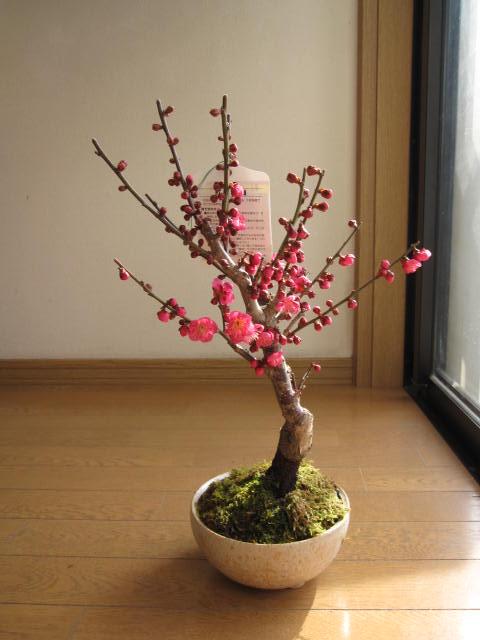 梅盆栽 2020年 2月頃開花  【盆栽】 信楽焼き入り 紅梅 梅の盆栽 【鉢植】【年末年始のお祝い お歳暮に】