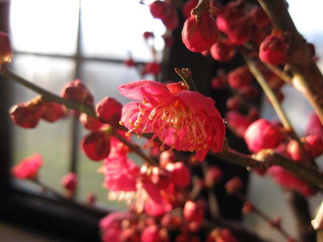 2020年2月頃開花梅盆栽  梅と桜の寄せ植え盆栽 香りと花の贈り物 梅盆栽 【盆栽】 信楽焼き入り 紅福梅盆栽  【鉢植】【年末年始のお祝い お歳暮に】