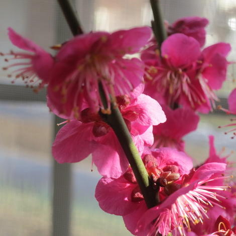 品質検査済 超美品再入荷品質至上 花芽もたくさんの梅盆栽梅の香りの贈り物 手作り 信楽鉢入り 2021年2月頃開花 祝紅梅 盆栽梅 梅盆栽 鉢植 紅梅盆栽 盆栽: 紅梅 玄関を彩る梅の花 梅盆栽は開花の梅花も香りもすばらしいです