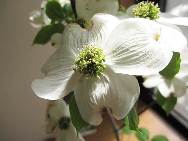 シンボルツリー 記念日の贈り物にどうぞ 2021年4月頃開花鉢植えハナミズキ 白 花水木 ハナミズキ 贈り物に 正規逆輸入品 メーカー公式ショップ 鉢植え 花ミズキ 信楽鉢入り はなみずき 白のハナミズキ