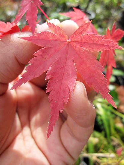 【紅葉】 紅葉といえば イロハモミジ 苗もみじ もみじ  【もみじ苗】 【庭木】高さ 約1.5M
