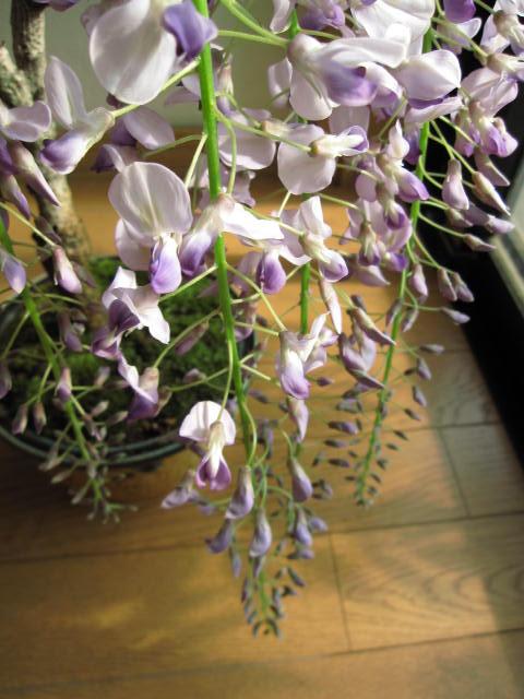 可憐に花を咲かせてくれる藤を眺める生活をお届けします。 ギフト【藤盆栽】野田 藤 盆栽 綺麗な薄紫の藤 2021年4月末頃~5月開花 信楽鉢入り【鉢植】