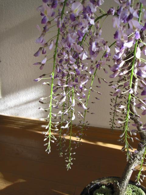 春はしだれた藤の紫でとっても可憐です 記念日 2021年4月末頃開花 送料無料 オリジナル 緑のキレイな藤盆栽 藤盆栽 春に開花 寄せ植え 4月末頃開花藤盆栽となります 信楽鉢入り 藤と苔ももの 鉢植