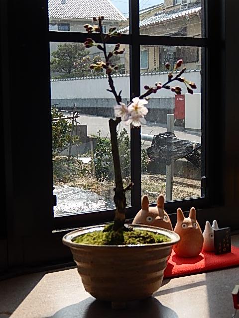 開花後5月頃には サクランボの実がなります さくらんぼ2021年に開化しますプレゼントに さくらんぼ盆栽4月に開花 信楽焼鉢入り 自宅でサクランボの実が楽しめます 大好評です 鉢植 品質検査済