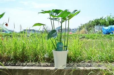 【観葉植物】【モンステラ】 リビング 玄関 寝室 緑を楽しむ 手のかからないギフト高さ約70cm
