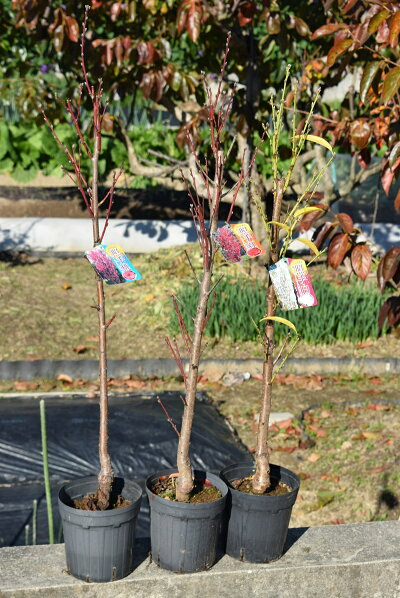 アウトレット 八重の大輪花をたくさん咲かせます 2021年開花苗 照手紅 照手桃 白 ハナモモ 3本セット プラ鉢 シンボルツリー ピンク色 ひな祭り 入荷予定 ホワイト 狭いスペース 濃いピンク色 記念樹 白色 落葉樹 ほうき立ち性
