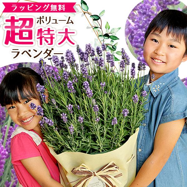 ラベンダー 10号サイズ 鉢花 鉢植え 母の日 超ボリューム特大ラベンダー 送料無料 お母さんもビックリ 高さ70cmセンチ 花 母の日ギフト ハーブ 母の日プレゼント