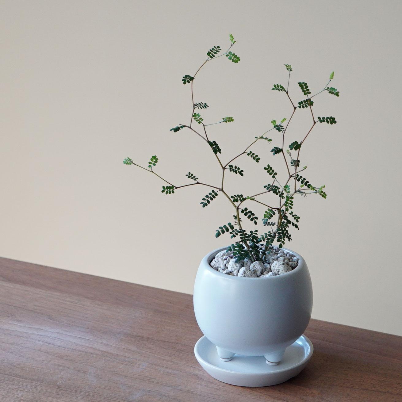 ギフト マート 日本全国 送料無料 プレゼント シンプルな白い陶器鉢 育て方ガイド付き ソフォラ 観葉植物 小さい おしゃれ 人気 ミクロフィラ