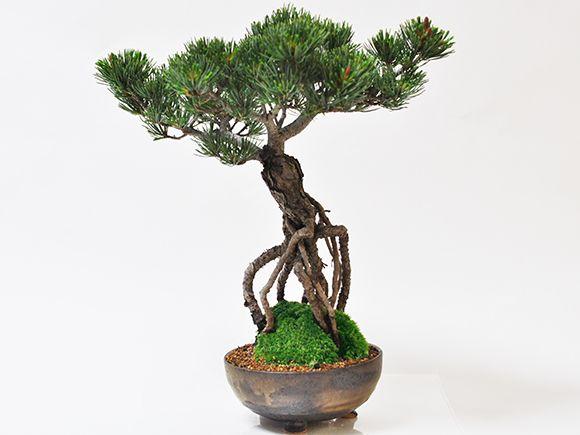 根上がりの五葉松【盆栽 ミニ盆栽 鉢植】
