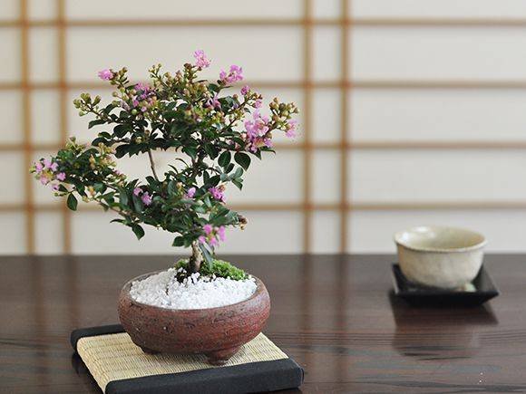 日本の代表的な庭木が盆栽に 百日紅(ヒャクジツコウ)【盆栽 ミニ盆栽 鉢植】