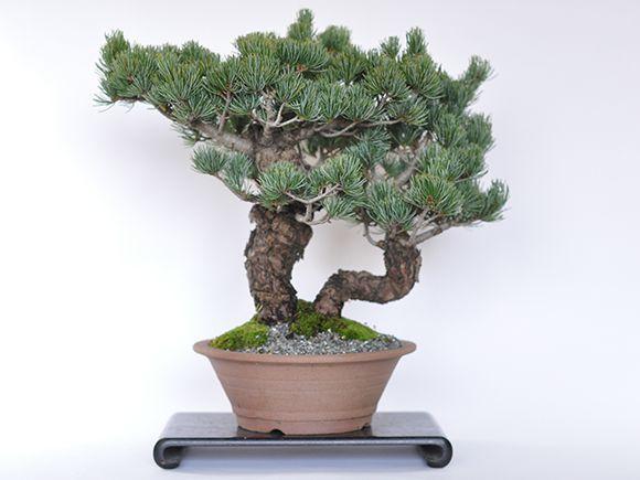 【送料無料】五葉松 双竜【盆栽 ミニ盆栽 bonsai ボンサイ ぼんさい 中品 双幹 引越し祝昇進退職贈り物プレゼント】
